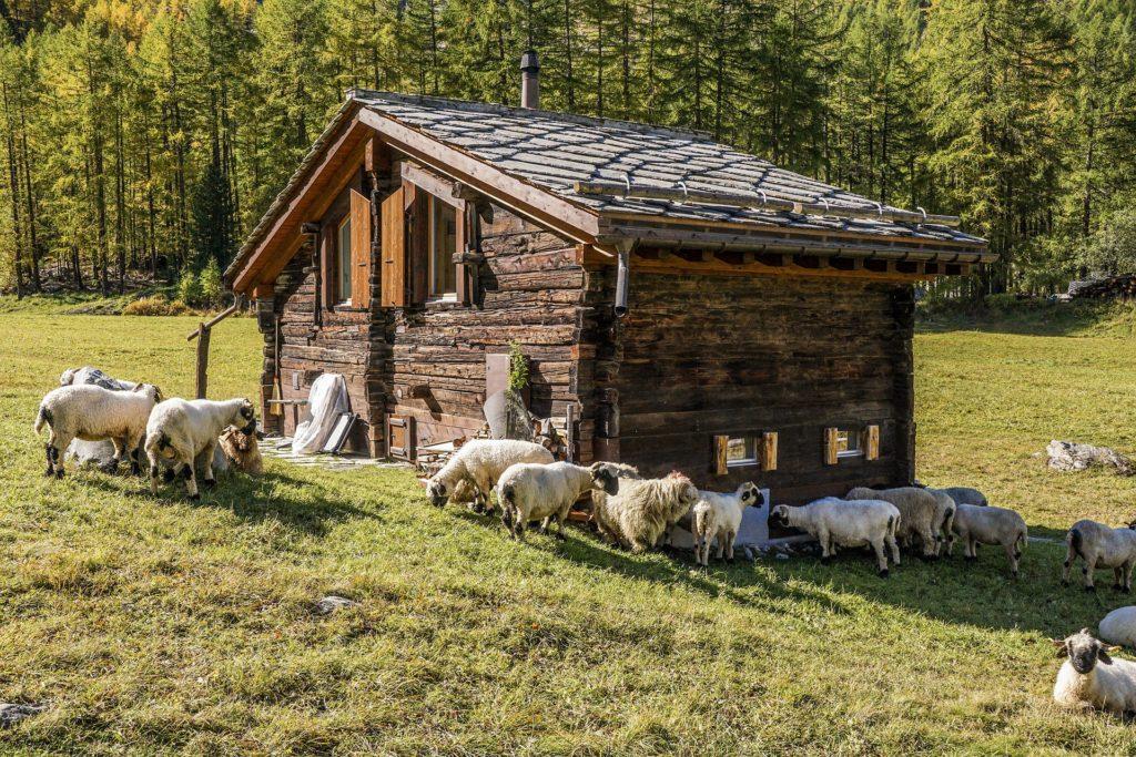 mouton et alpage