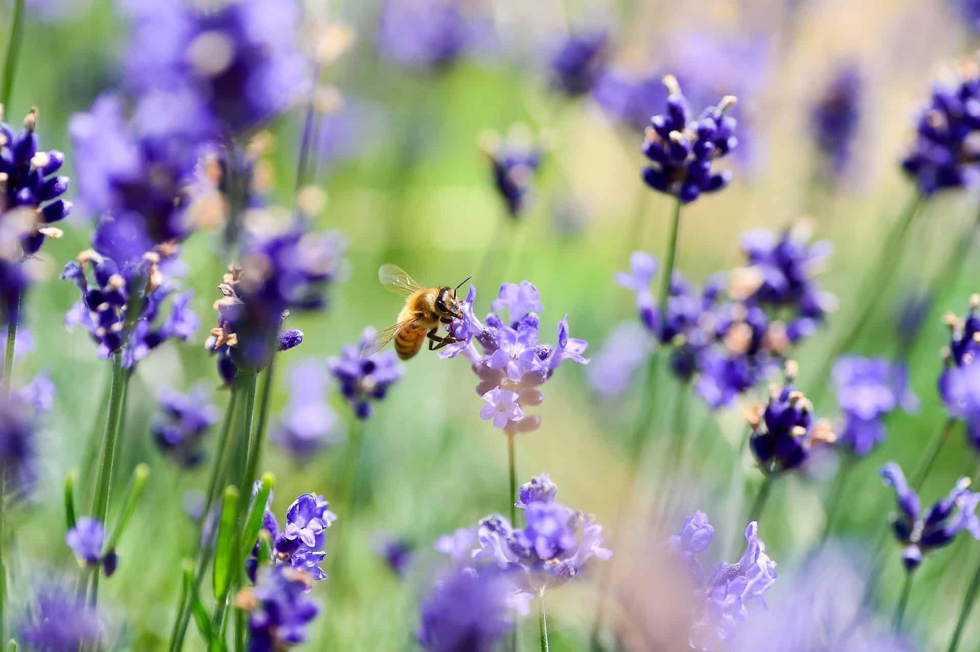 abeilles sauvages